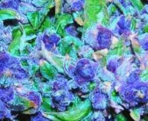 best top 10 weed strains - purple kush